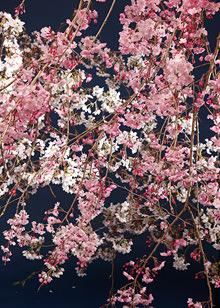 枝垂桜 染井吉野